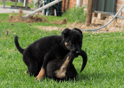 Gallery_Puppies_Playing